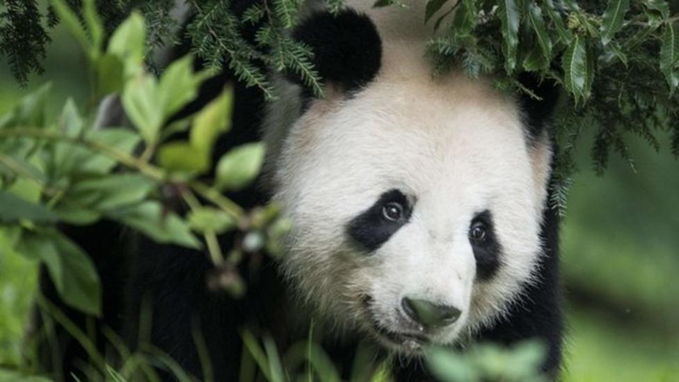 Baby panda born in US zoo