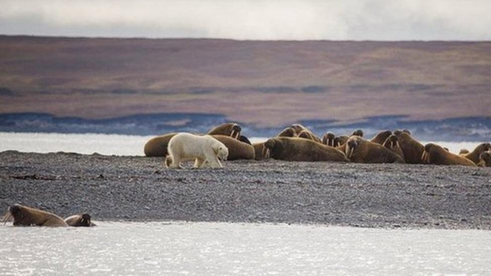 Drilling could affect Arctic animals