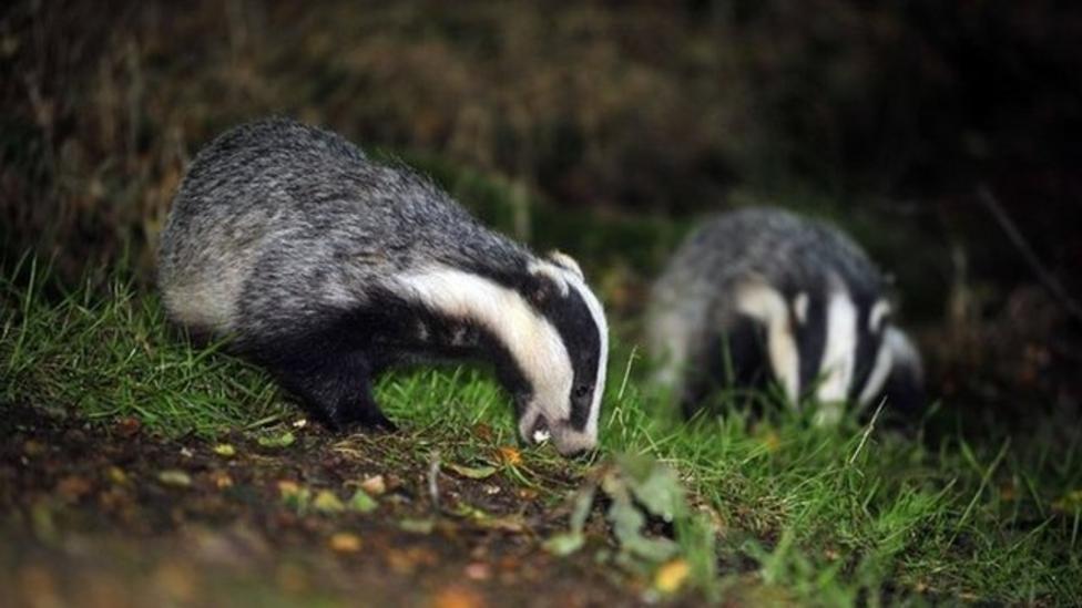 Badger cull begins in England