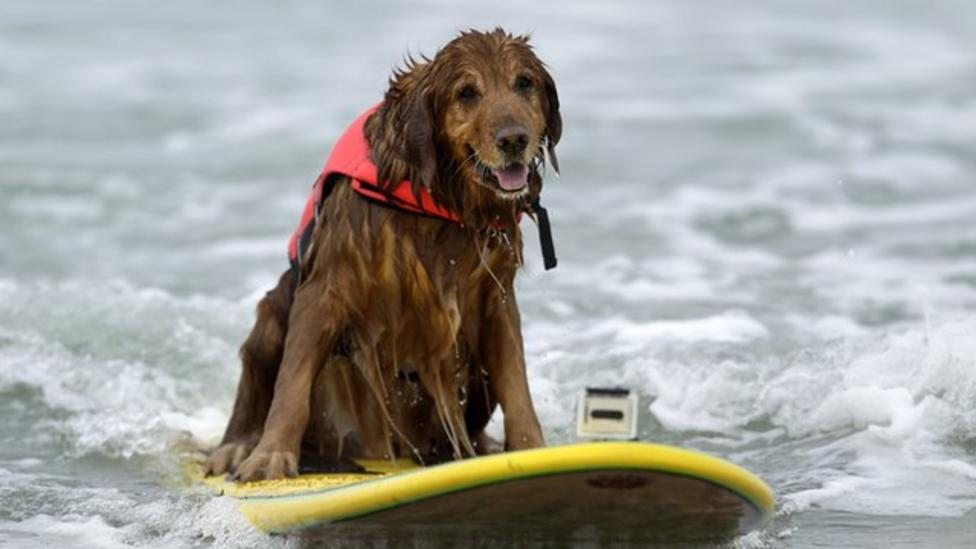 Doggy surfing competition!