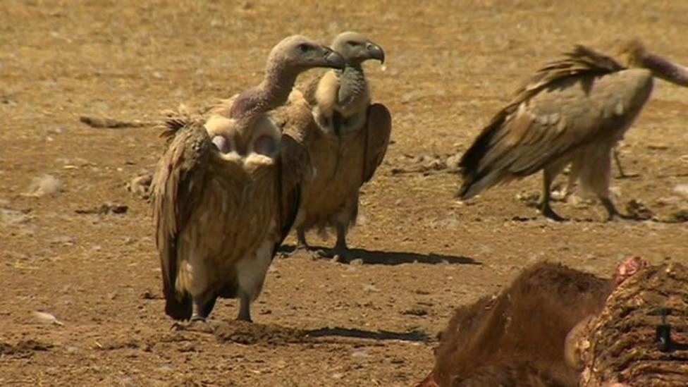 Vultures under threat in Africa