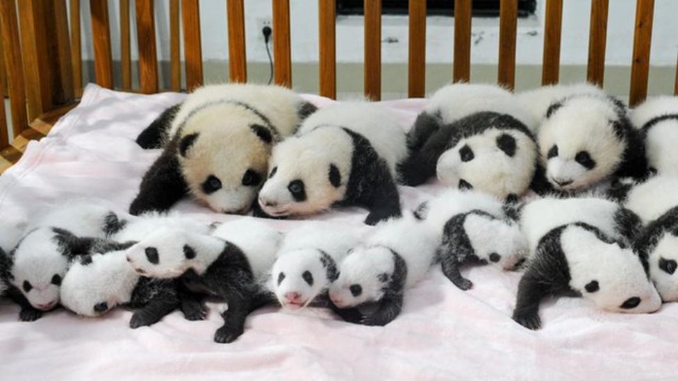 Baby panda cubs on show in China - CBBC Newsround