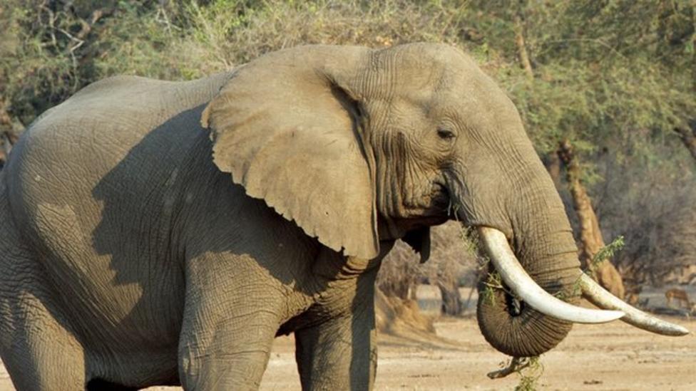 Why do poachers use poison?