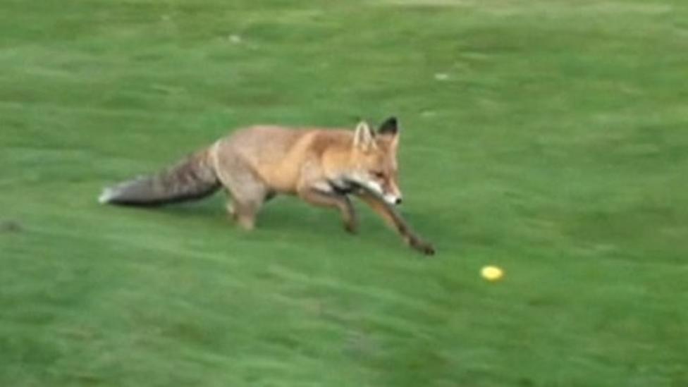 The fox who steals golf balls!