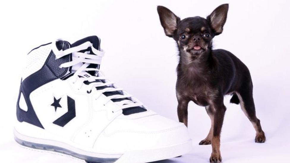 World's smallest dog just 10cm tall