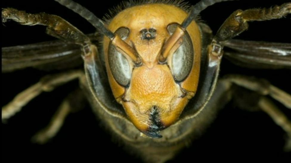 Giant hornets injure thousands