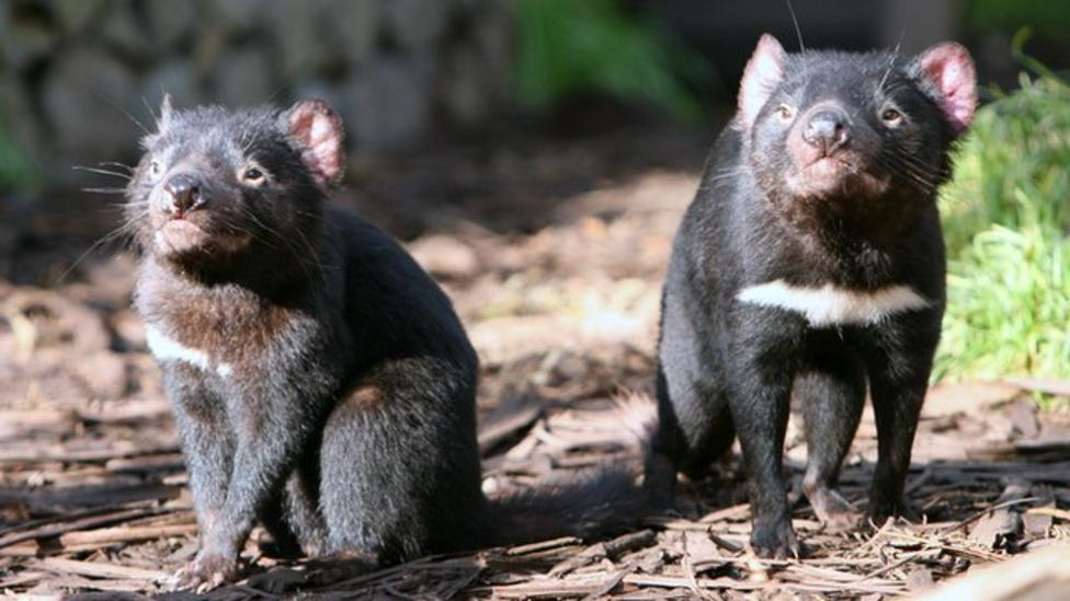 Tasmanian devils new zoo home