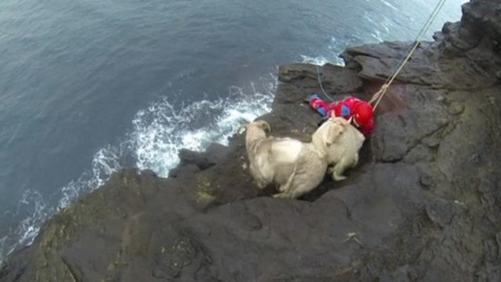Sheep in dramatic cliff top rescue