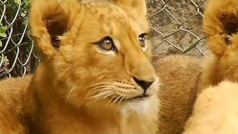 Five rare cubs born at Mexican zoo