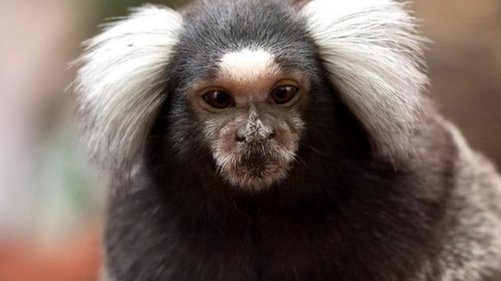 Monkeys take turns in conversation
