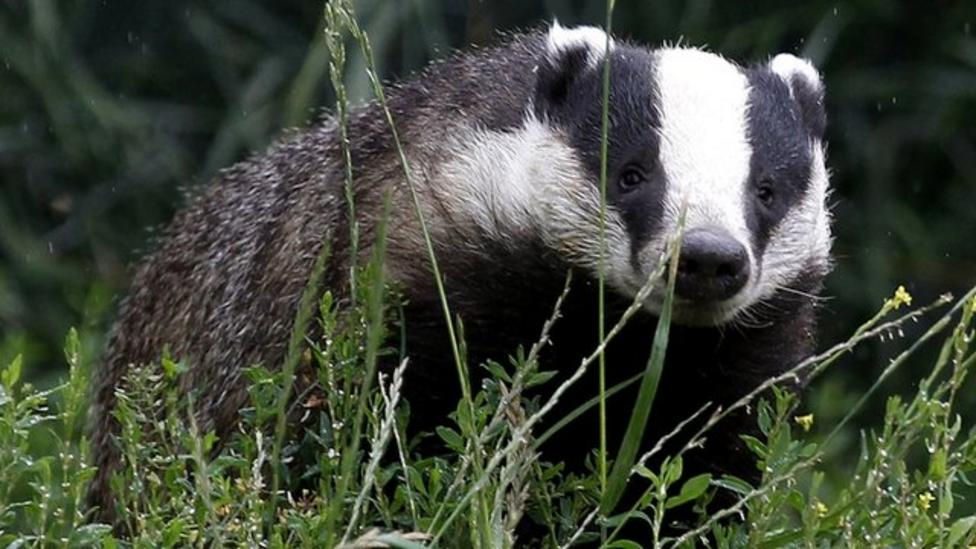 Vets question badger cull advice