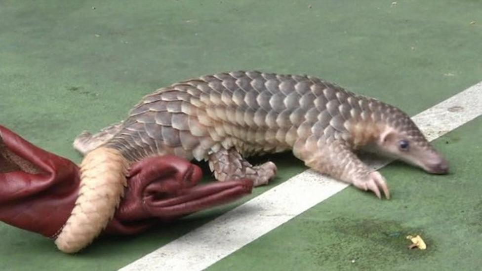 Rare pangolins rescued in Thailand