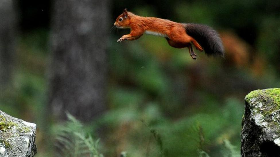 Red squirrels 'resisting deadly pox'