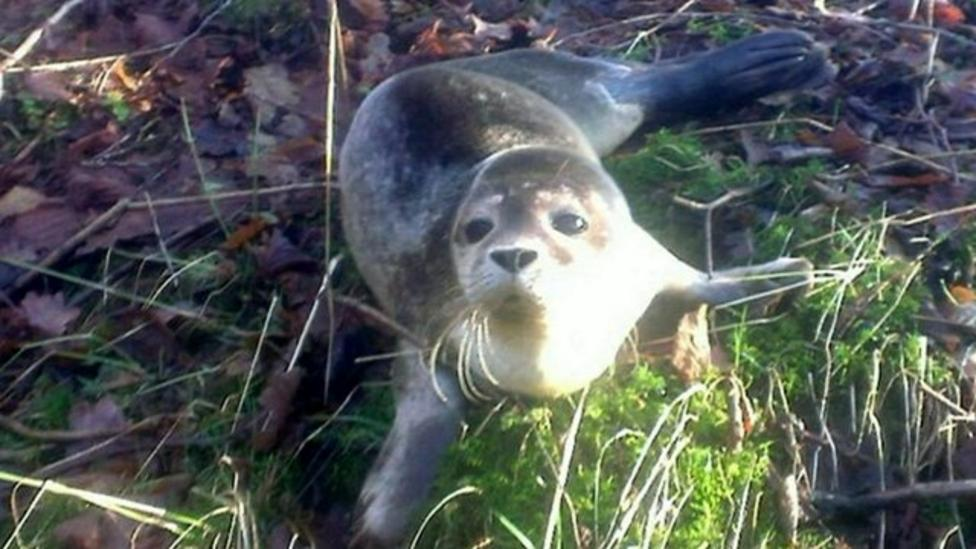 Seal rescued from farm in Cumbria