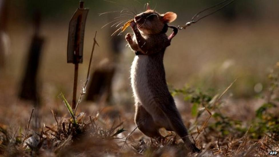 'Hero rats' sniffing out landmines