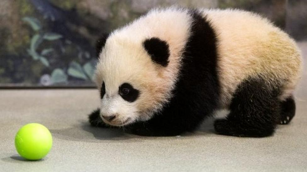 Baby giant panda unveiled at US zoo