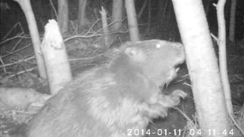 Rare wild beaver caught on hidden camera