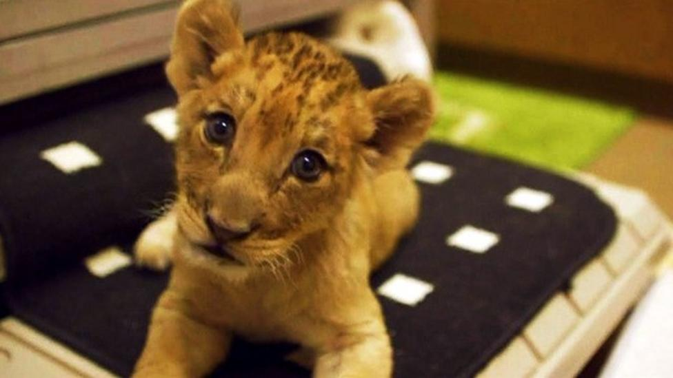 Lion cubs on show at San Diego zoo