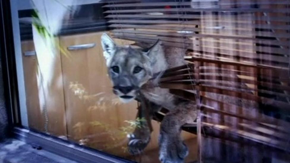 Puma causes havoc in kitchen