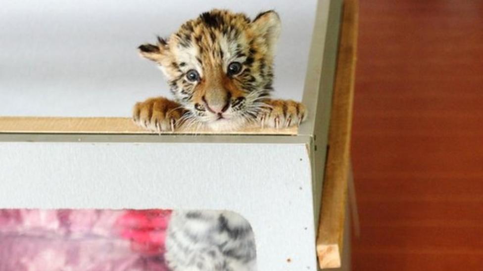 Siberian tiger cubs become stars!