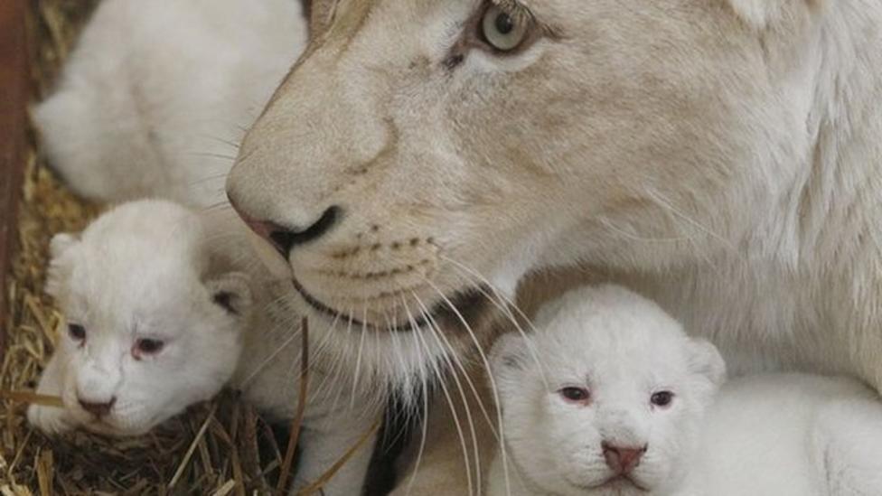 Rare white lion cubs born at Poland zoo