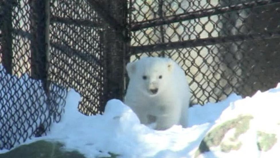 Polar bear cub on show in Canada