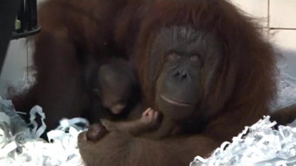 Baby orangutan born in Indonesia