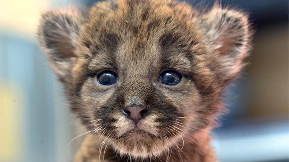Baby panther rescued in America