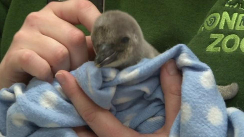 Watch: Zoo's first penguin of the year born early