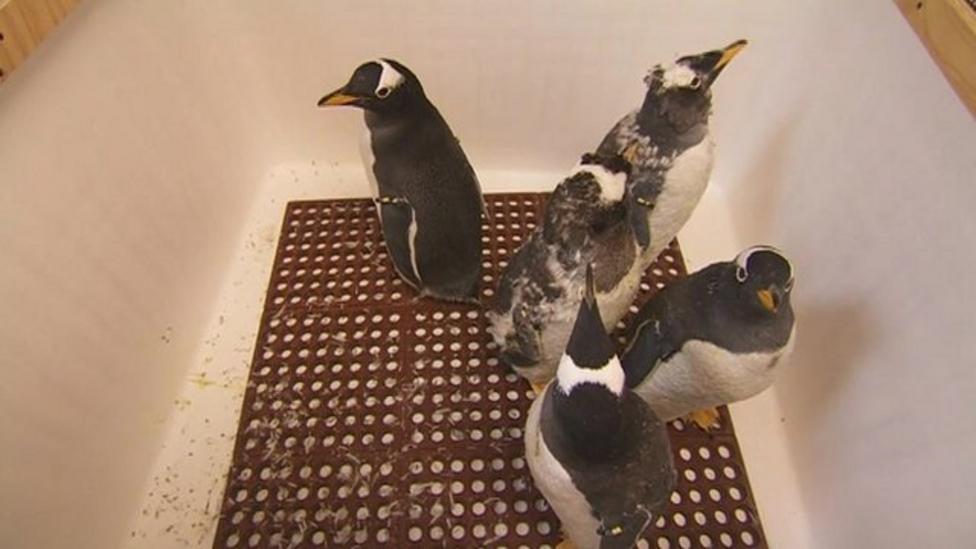 Flying penguins' epic journey