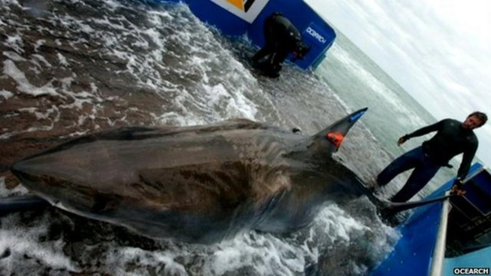 Great white shark could make history