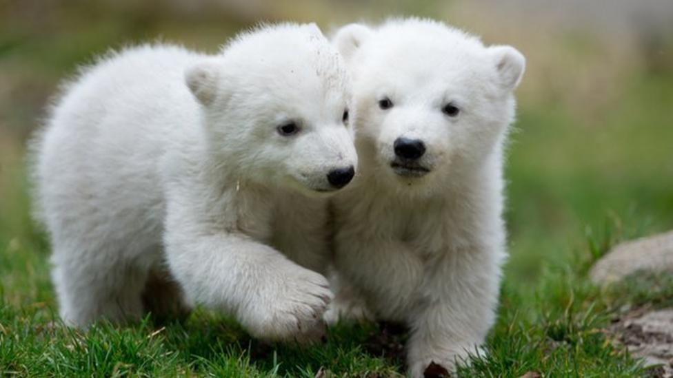 Polar bear twins on show in Germany