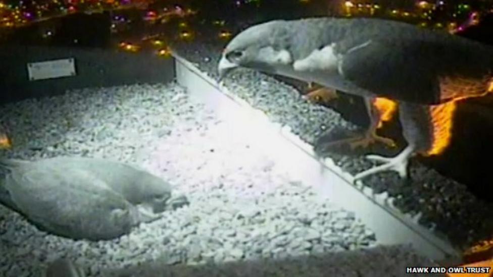Peregrine falcons caught on camera