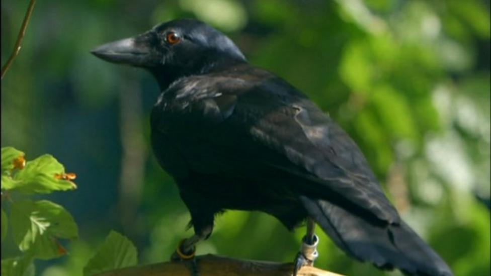 Watch: Clever crows solve puzzles