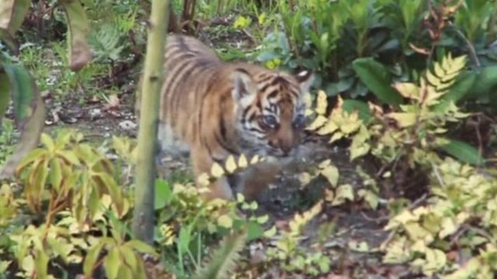 Tigers make first public appearance