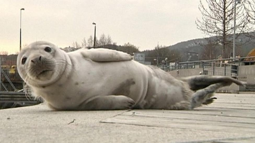 Baby seal visits city in Sweden