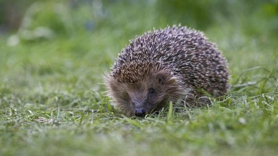 Hedgehog increase in badger cull areas