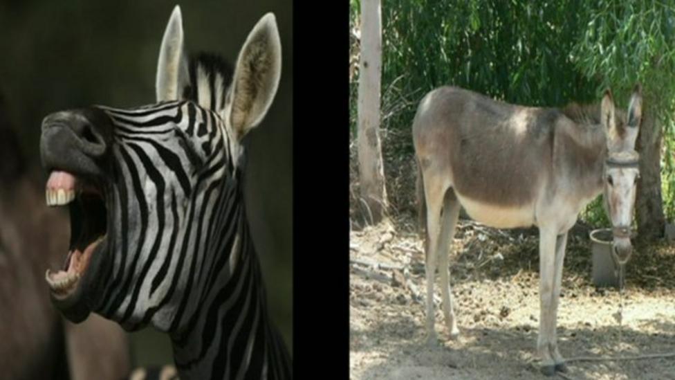 Zebra donkey cross born in Mexico