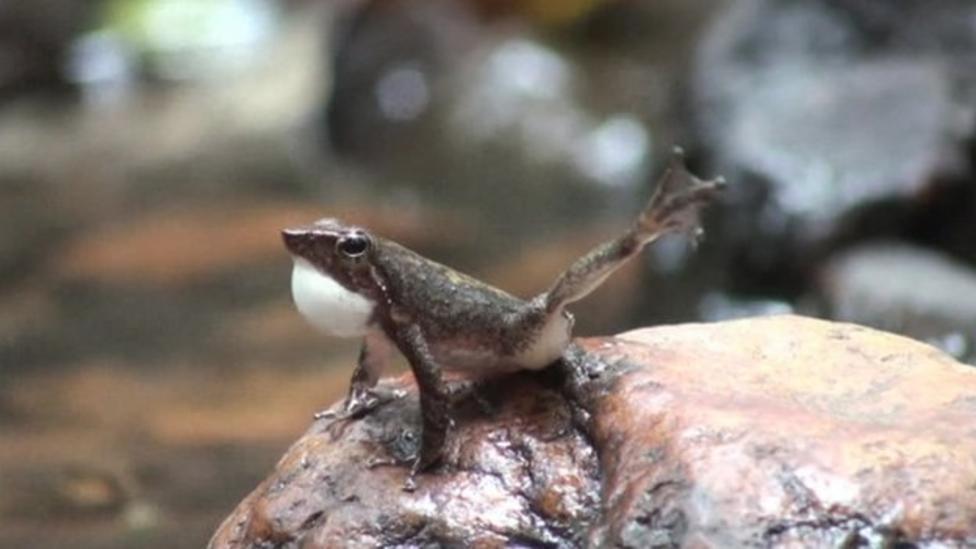 New species of 'dancing' frogs found