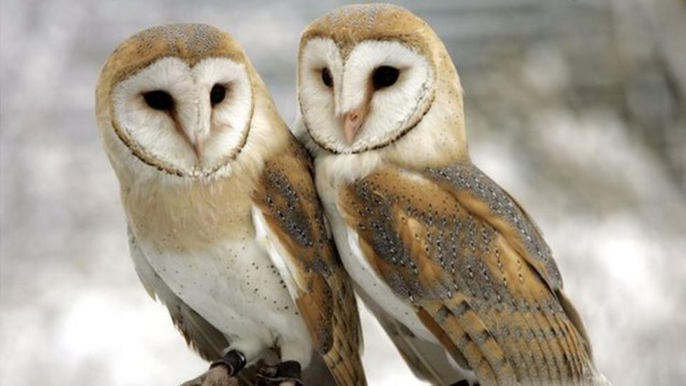 Rare look into a barn owl's nest