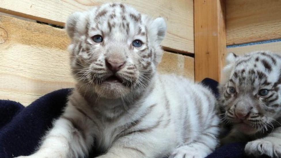 White tiger cubs make public debut