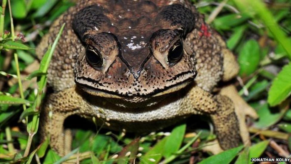 Toads causing concern in Madagascar
