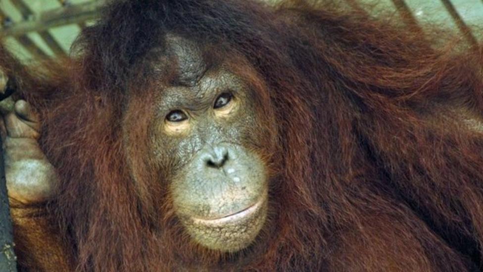 Orangutans getting dental check-up