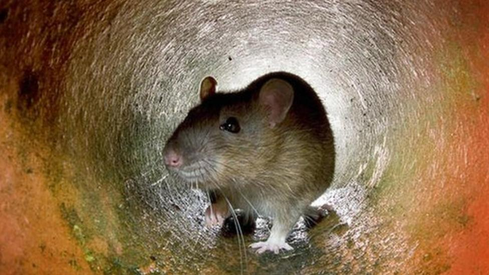Rats can experience regret, claim scientists