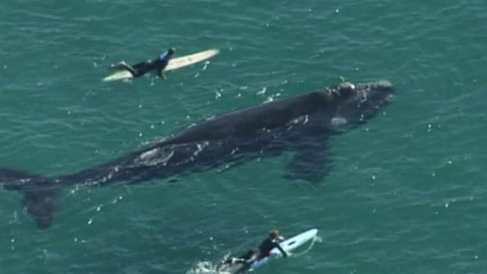 Massive whale hangs out with surfers