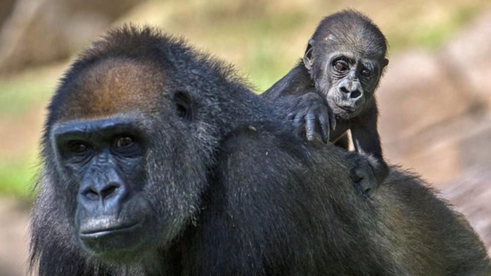 Baby gorilla exploring San Diego zoo