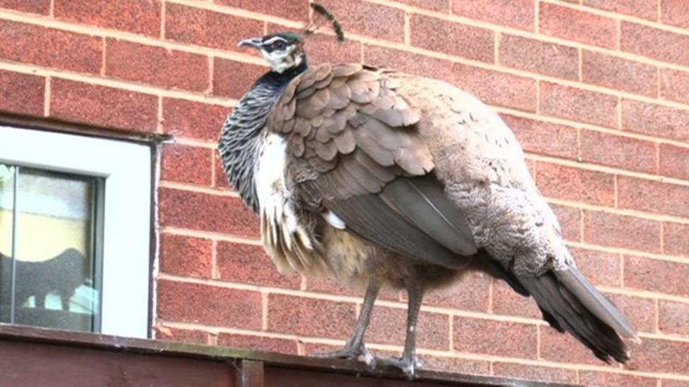 Peacock gang upsets neighbourhood