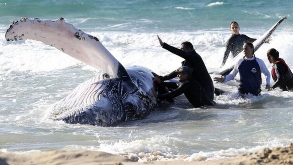 Baby whale helped by rescuers