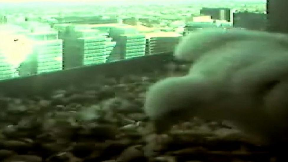 Falcon chick prepares to take flight