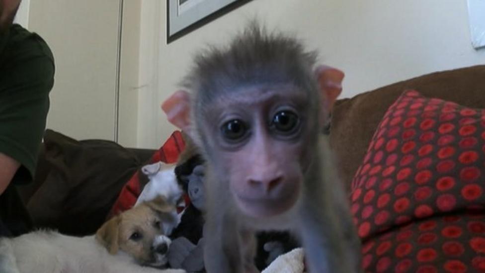 Baby monkey makes puppy friends